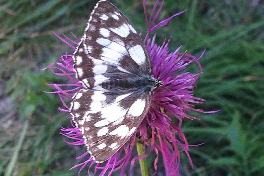 Toestemming van de vlinders